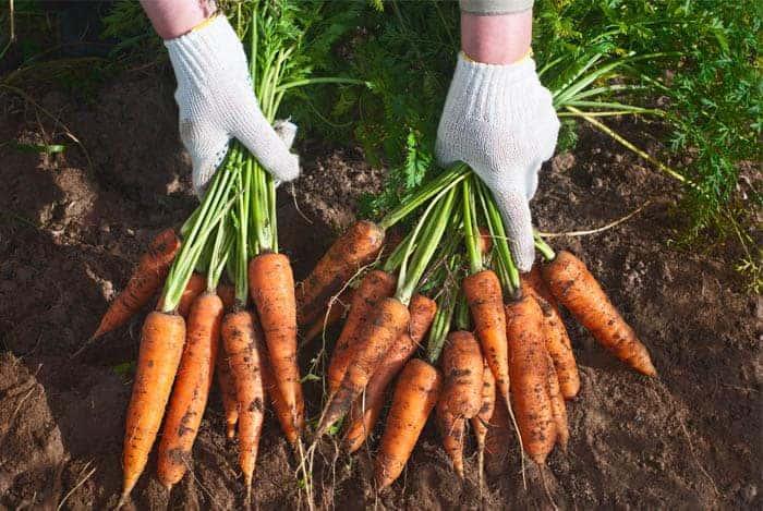 zanahorias orgánicas