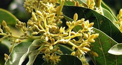 Planta de Muira Puama